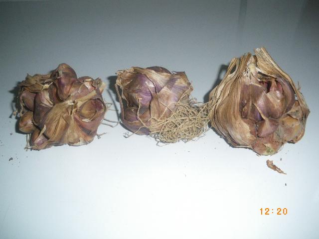 bulbe pourri